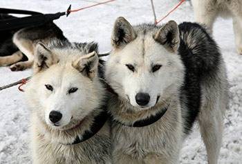 Two huskies sit together in the snow during the winter